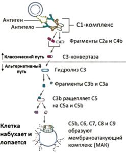 Рис. 1 - Физиологическая роль системы комплемента
