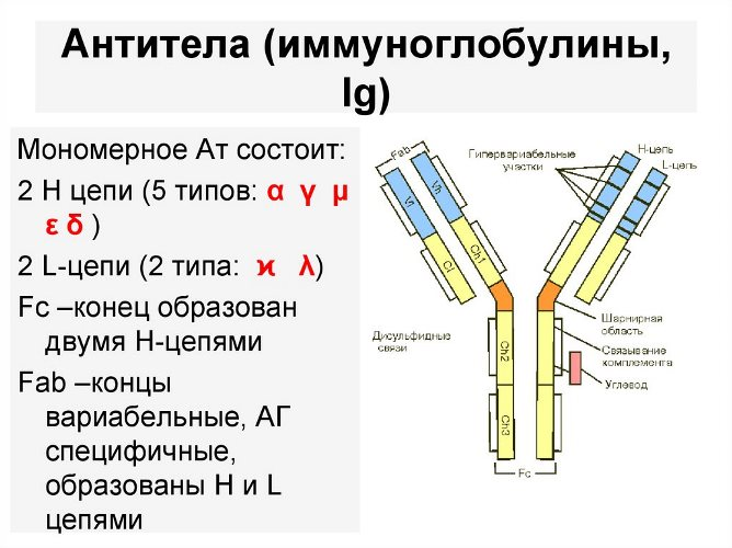 антитела ig