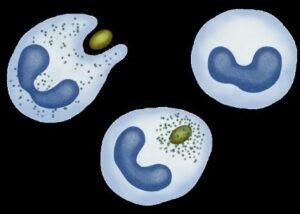 Фагоцитирующие лейкоциты