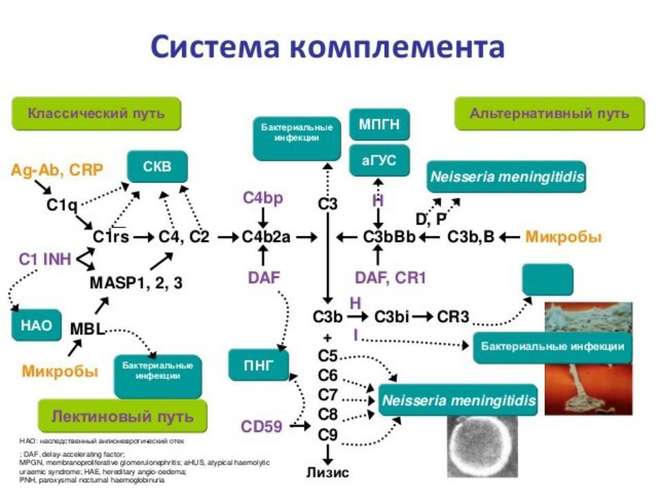 Система комплемента