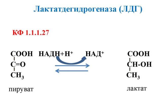 ЛДГ (лактатдегидрогеназа)