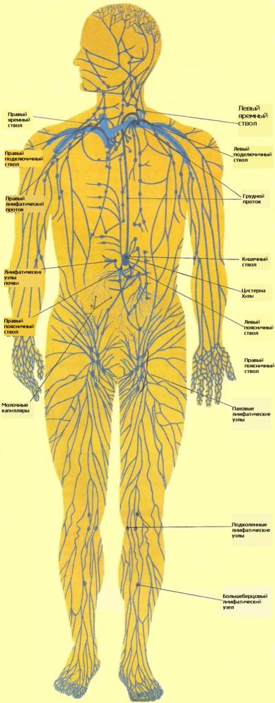 Лимфатическая система (ЛС)