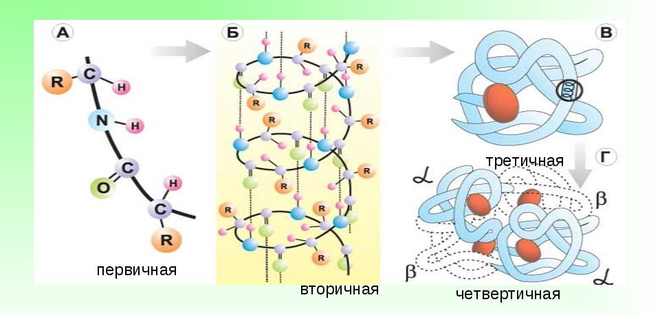 Уровни организации молекулы белков