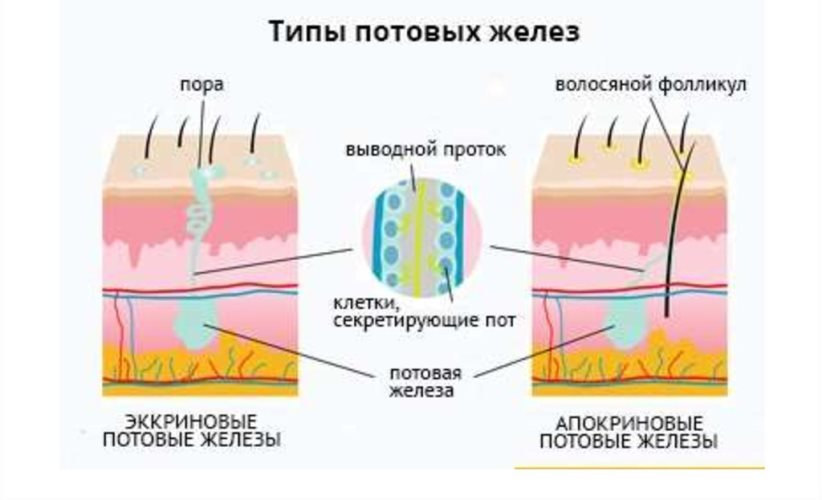 Типы потовых желез