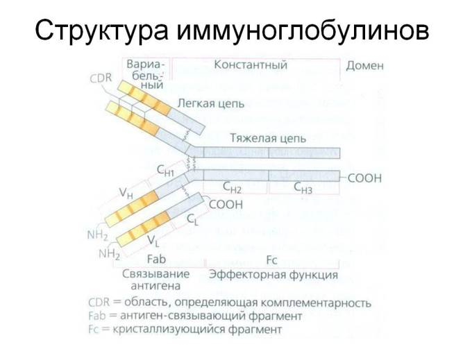 структура иммуноглобулина