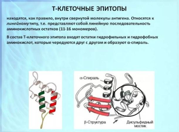 Т-клеточный эпитоп