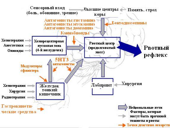 Пути активации вотного центра