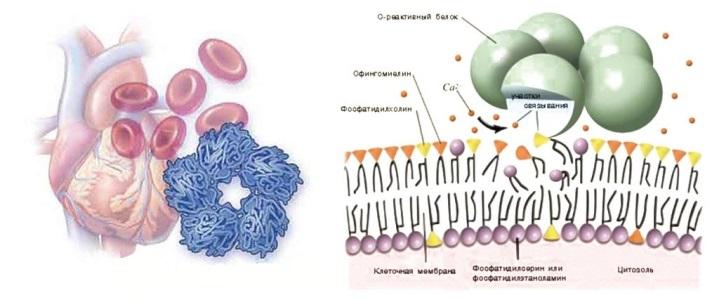 С-реактивный белок (СРБ)